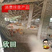 【重庆贫困户产品】欣田土鸡【3只起卖,一只4-5斤】只限潼南区内出售